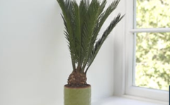 Plant of the week: Cycas revoluta