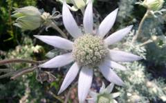 A photo of Flannel Flowers