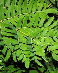A photo of Royal Fern