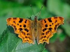 A close up photograph of a comma butterfly, Polygonia c-album on a leaf