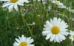 A photo of Ox-Eye Daisy