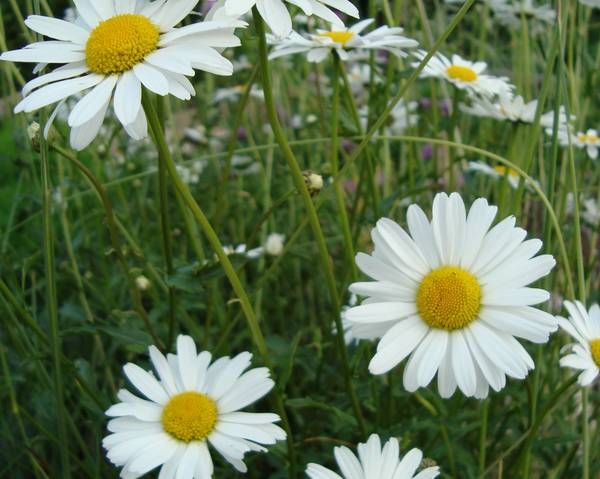 A picture of a Ox-Eye Daisy
