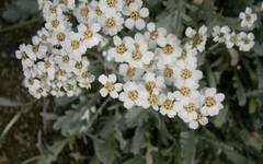 A photo of Achillea clavennae
