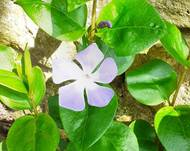 A photo of Greater Periwinkle