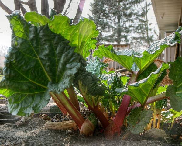 A picture of a Garden Rhubarb