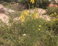 A photo of Spanish Broom
