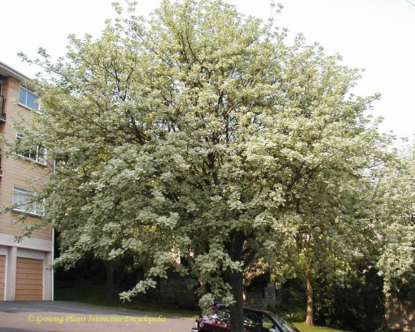 A picture of a Whitebeam 'Lutescens'