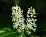 A photo of Cherry Laurel