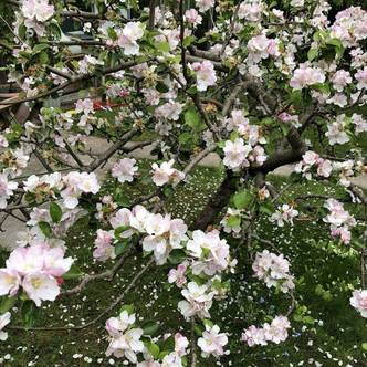 Crab Apple Tree - (Malus Sylvestris)