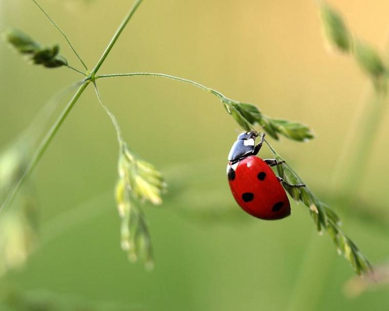 Close up of a ladybird on a grassy plant stem with seeds