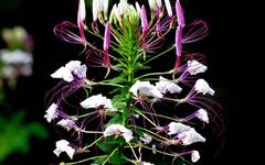 A photo of Spider Flower