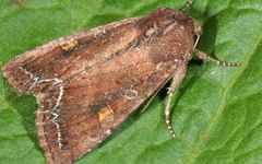 A photo of Bright-Line Brown-Eye Moth