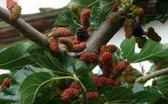 A photo of Black Mulberry