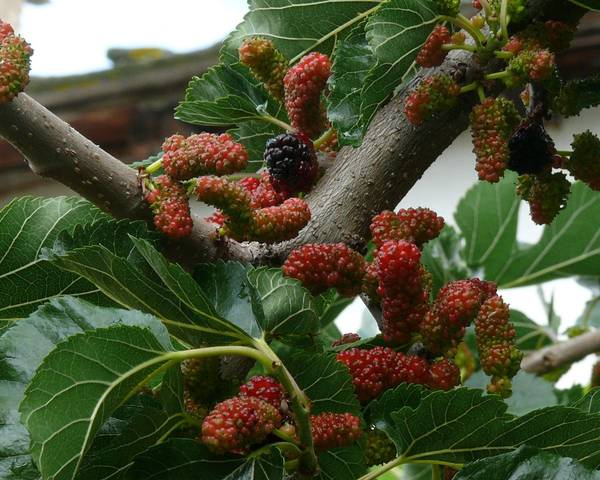 A picture of a Black Mulberry