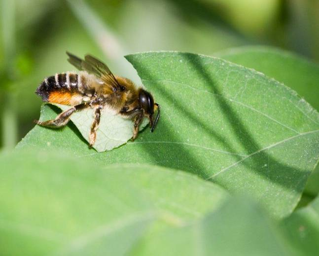 A close up of Megachile centuncularis patchwork leafcutter bee on a leaf