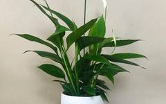 A photo of Peace Lily