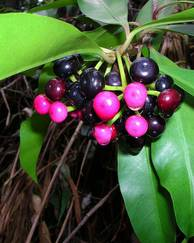 A photo of Coralberry