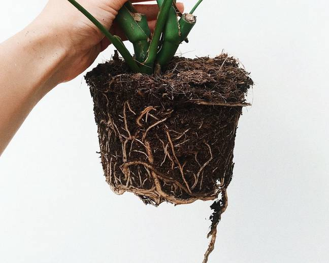 Soil roots of a Monstera plant