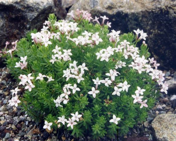 A picture of a Woodruff