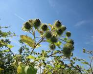 A photo of Greater Burdock
