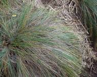 A photo of Festuca coxii