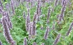 A photo of Anise Hyssop