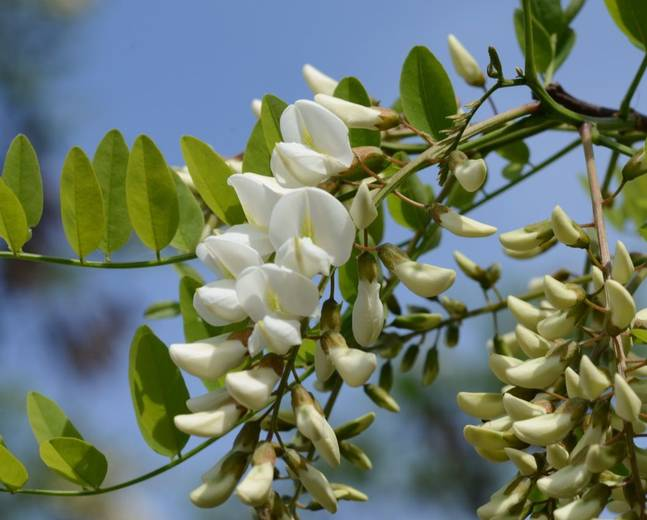 A close up of some white Robinia pseudoacacia flowers and green leaves