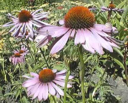 A picture of a Purple coneflower