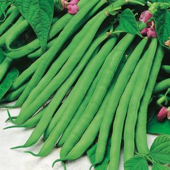 French Beans Seeds. TENDERGREEN