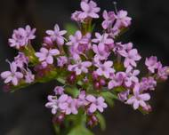 A photo of Centranthus calcitrapae