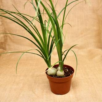 3 Trunk Ponytail Palm (Beaucarnea Nolina Recurvata) - 12cm pot