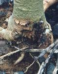 A photo of Root Rot
