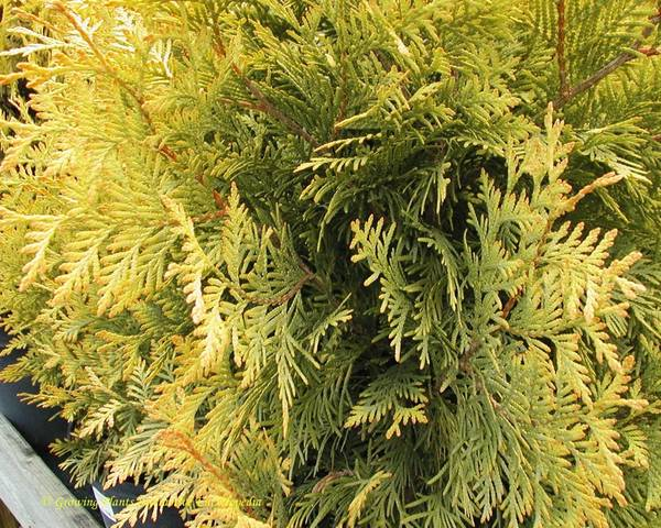 A picture of a American arborvitae