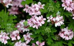 10 Best Plants With Scented Leaves