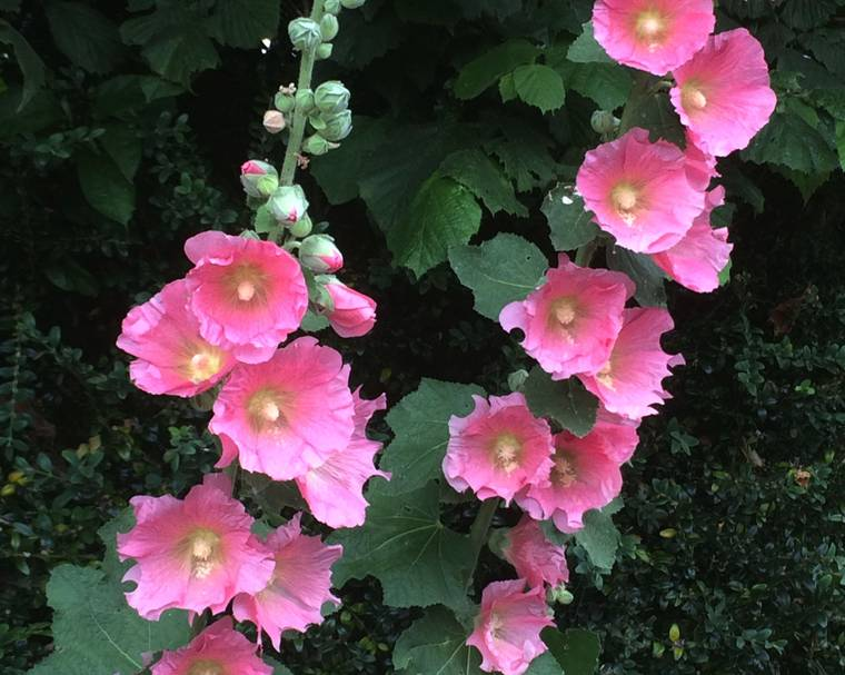 a hollyhock flower