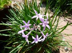 Some Tulbaghia in flower with green leaves