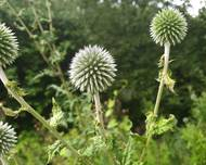 A photo of Pale Globe Thistle