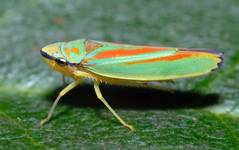 A photo of Rhododendron Leafhopper