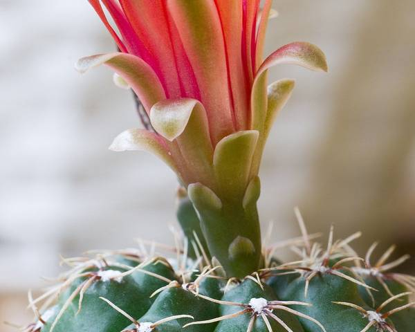 A picture of a Dwarf Chin Cactus