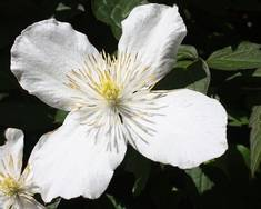 A white Clematis montana flower on a plant