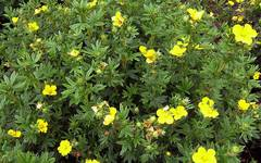 A photo of Shrubby Cinquefoil