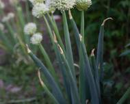 A photo of Welsh Onion