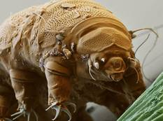 A in depth picture of a tardigrade taken with an electron microscope tardigrada