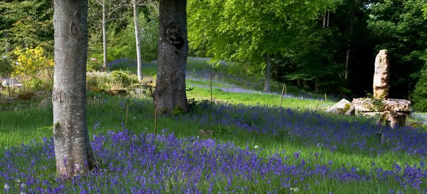 bluebells in burgie arboretum