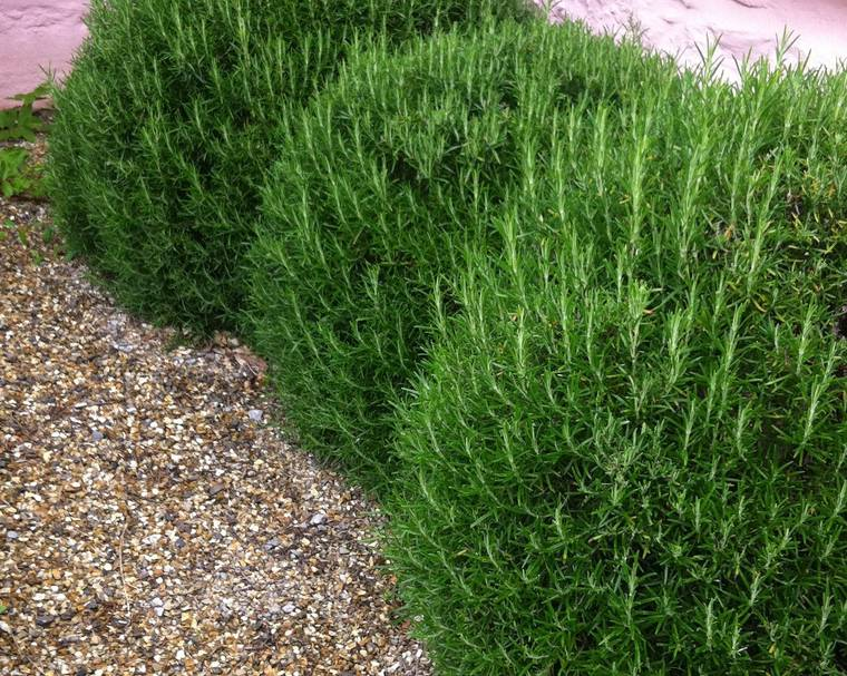 Clipped topiary balls of rosemary