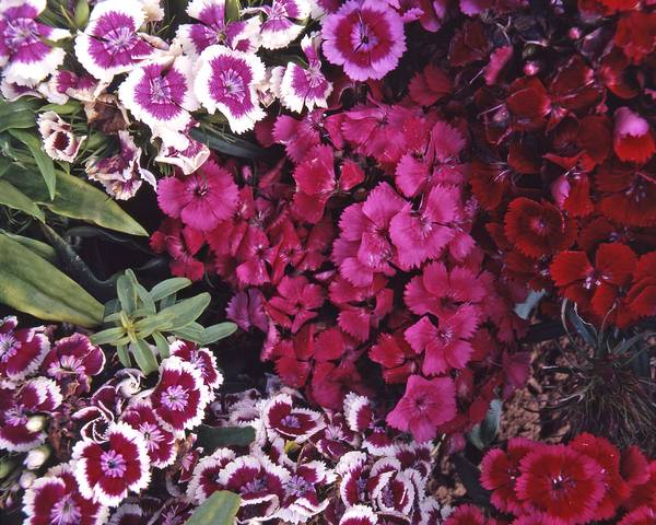 A picture of a Sweet William 'Wee Willie'