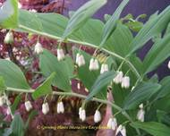 A photo of Solomon's Seal