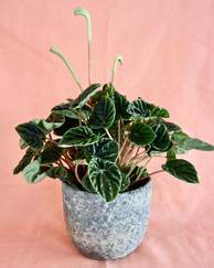 A photo of Emerald Ripple Peperomia