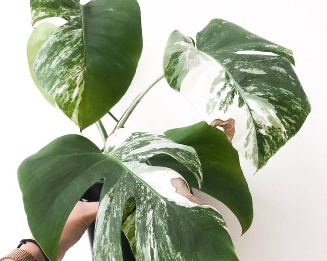 A close up some green and white variegated Monstera leaves