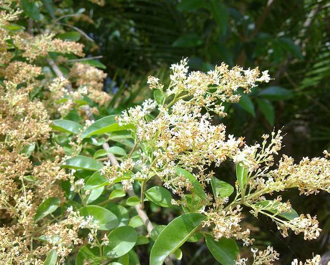 A close up of some Ligustrum sinense flowers